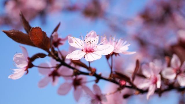 cherry-blossom-3308735_1920.jpg